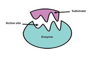 生化诊断原料之诊断用酶底物