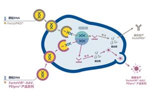 GMP级转染试剂,为您提供高产量的病毒、蛋白类工业生产用转染试剂